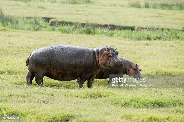 Female and young Hippopotamos (Hippopotamus amphibius) standing in short grass, Ngorongoro Crater