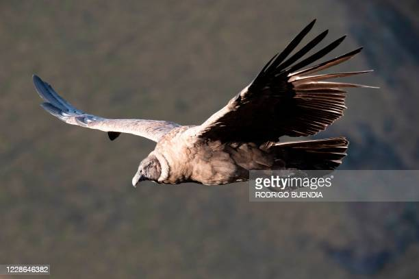 Female Andean Condor overflies the Chakana private reserve of the Jocotoco foundation, on the slopes of the Antisana volcano, 50 km southeast of...