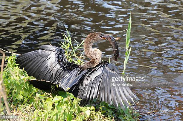 female anhinga, anhinga anhinga, with a walking catfish, clarias batrachus, that it just caught. everglades national park, florida, usa. unesco world heritage site (biosphere reserve). - nancy hunt stock pictures, royalty-free photos & images