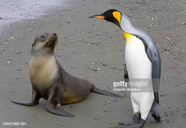 Female Antarctic fur seal pup and king penguin side by side on beach