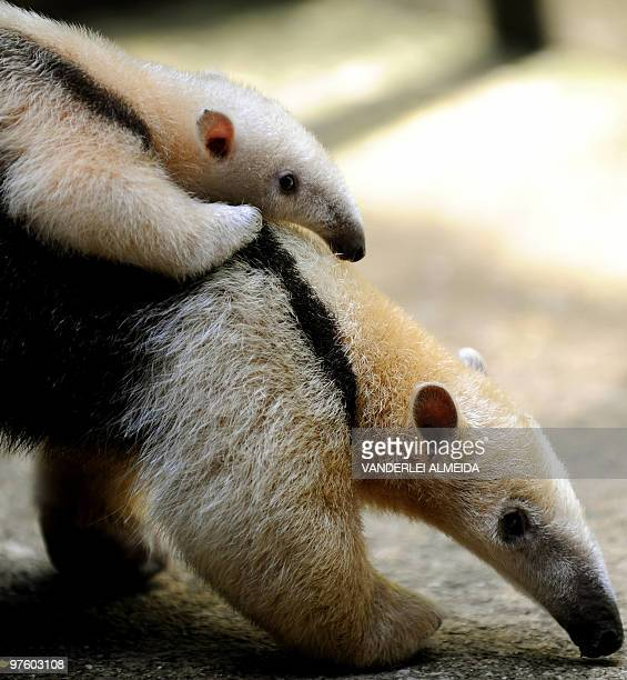 Female anteater carries her baby at the zoo in Rio de Janeiro, Brazil on March 9, 2010. The baby the first to be born of their species in captivity...