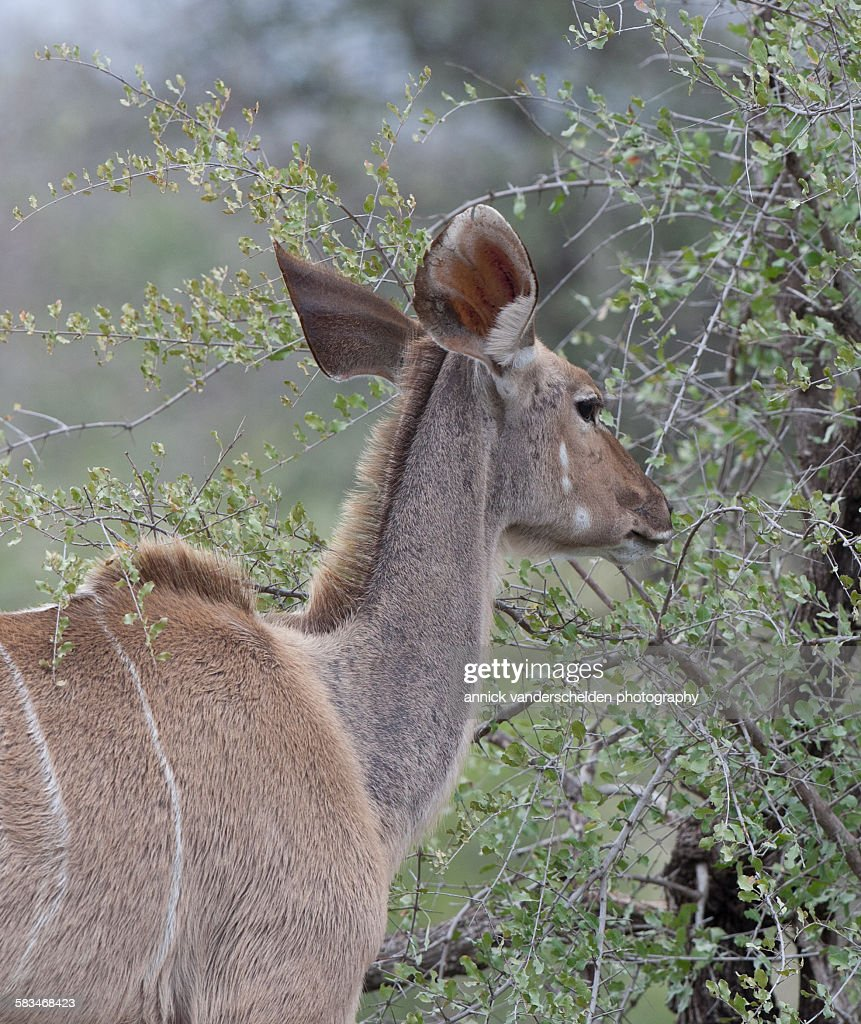 Female antelope : Stock Photo