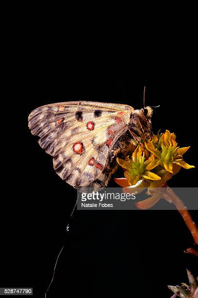 Female Apollo Butterfly