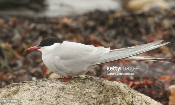 A female Arctic Tern (Sterna paradisaea) sitting on a rock waiting for the male to return to feed it with a fish.  It is part of their courtship behaviour. Her head is covered in rain droplets.