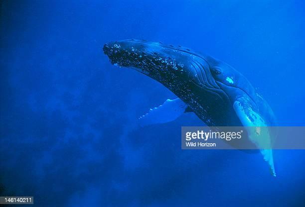 Female Atlantic humpback whale rises to the surface to breathe Megaptera novaeangliae Silver Bank Humpback Whale Sanctuary Dominican Republic