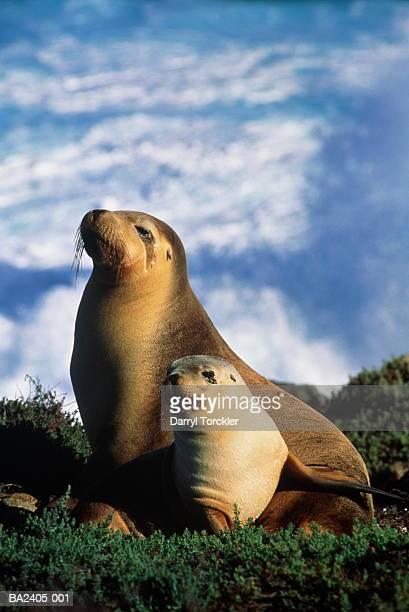 female australian sea lion (neophoca cinerea) lying with pup - ilha netuno - fotografias e filmes do acervo