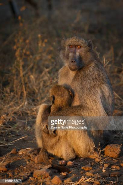 female baboon embracing het young while