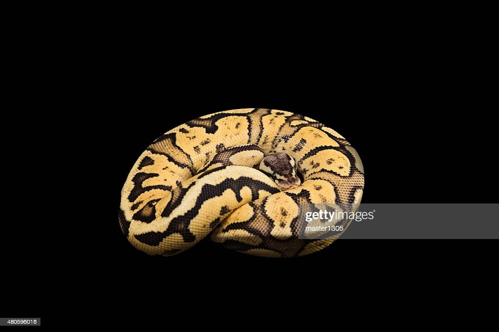 Female Ball Python. Firefly Morph or Mutation : Stock Photo