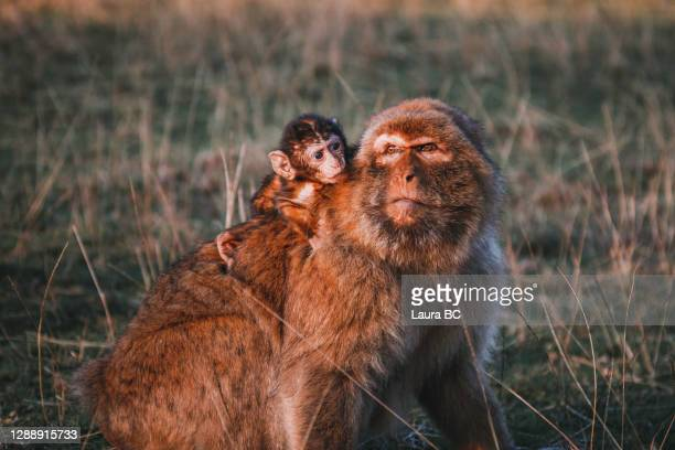 female barbary macaque with her baby monkey on her back - バーバリーマカク ストックフォトと画像
