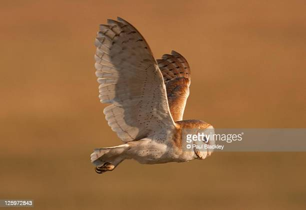 female barn owl flight - barn owl stock photos and pictures