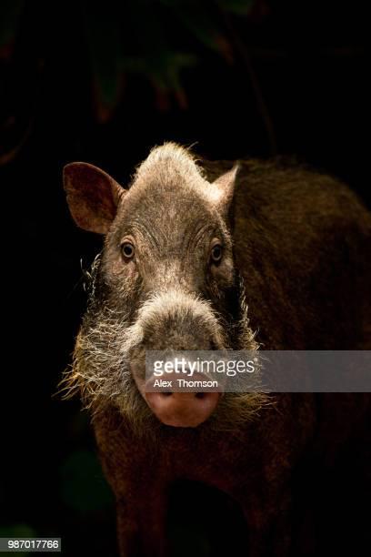 Female Bearded Pig Portrait