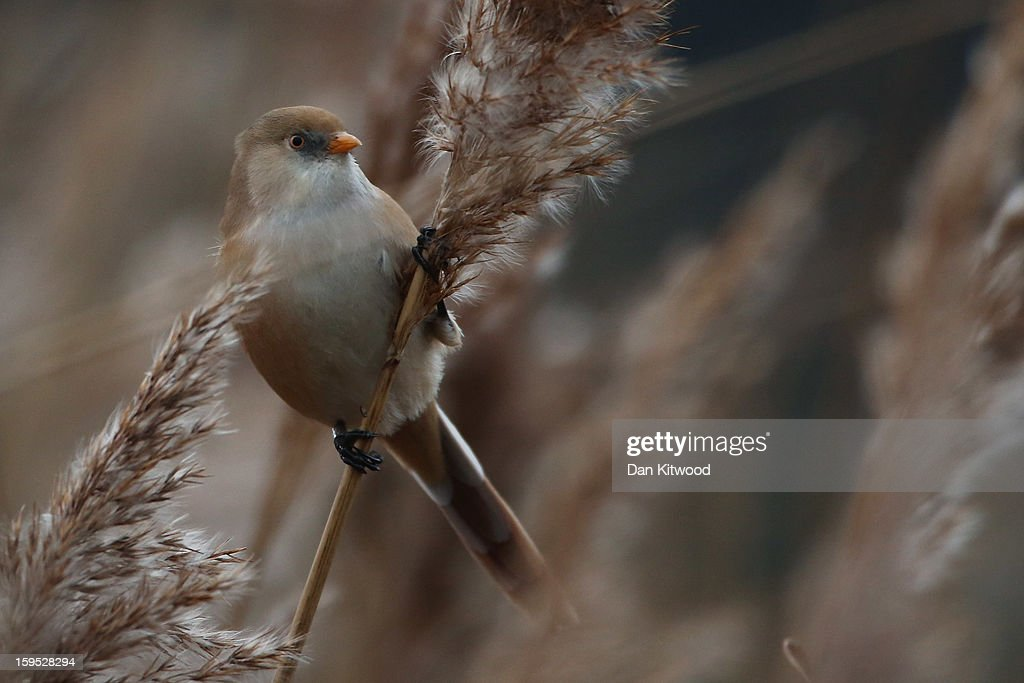A female Bearded Tit perches on a reed amongst the reedbeds in Hyde Park on January 15, 2013 in London, England. The birds, a pair spotted for the first time last week, offer a rare opportunity to see them as this species has never before been seen in inner London. Since their arrival twitchers have flocked to the area for a rare glimpse of the birds.