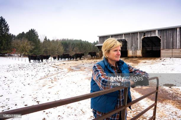 a female beef cattle farmer with a herd of wagyu or wagu japanese black cattle in the winter. - female animal stock pictures, royalty-free photos & images