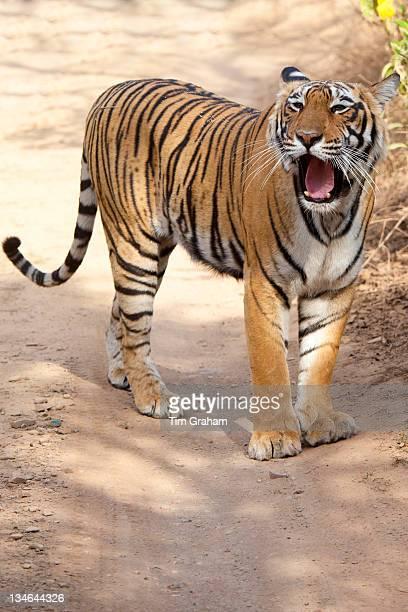 Female Bengal tiger Panthera tigris tigris in Ranthambore National Park Rajasthan India