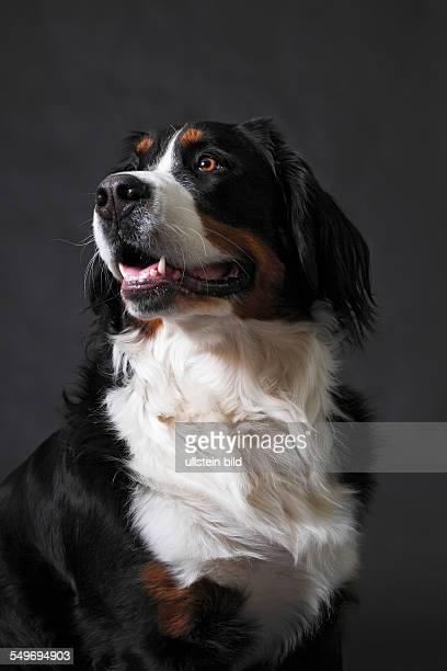 female Bernese Mountain dog Bernese Cattle dog portrait