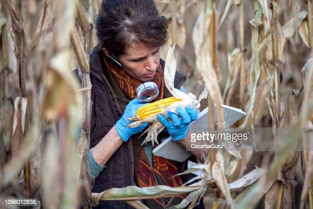 female biologist examining gmo corn crop - genetic modification stock pictures, royalty-free photos & images
