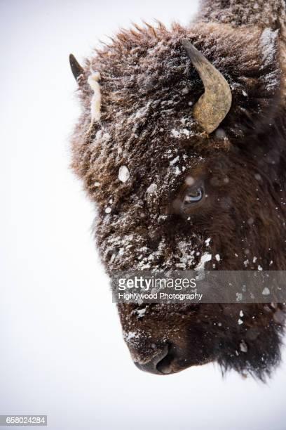 Female Bison Face