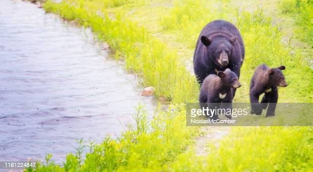 female black bear and her two cubs walking by river on rainy day - black bear stock pictures, royalty-free photos & images