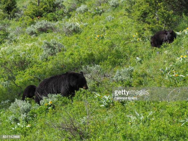 Female Black Bear With Two Cubs in Hayden Valley, Yellowstone National Park