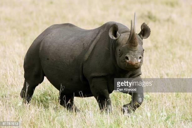 A female Black Rhino stands on December 10 2007 in the Masai Mara Game Reserve Kenya