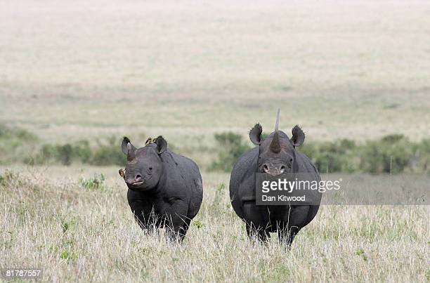 A female Black Rhino stands with her calf on December 10 2007 in the Masai Mara Game Reserve Kenya