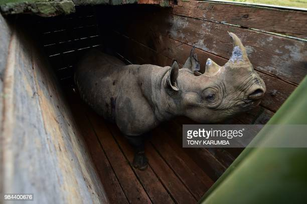 TOPSHOT A female black rhinoceros one of three individuals about to the translocated stands in a transport crate in Nairobi National Park on June 26...