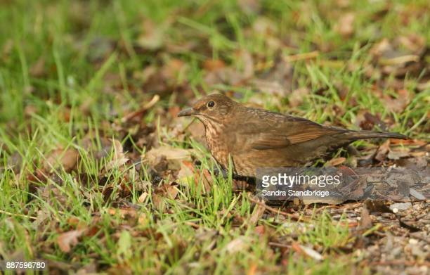 A female Blackbird (Turdus merula) hunting for food in the grass.