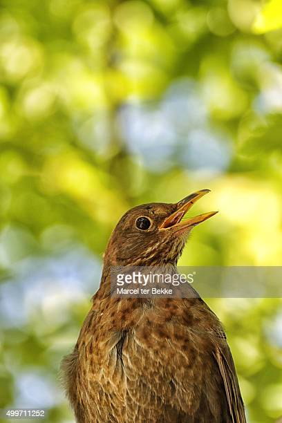 Female blackbird singing