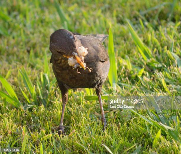 A female blackbird with a few worms in the beak