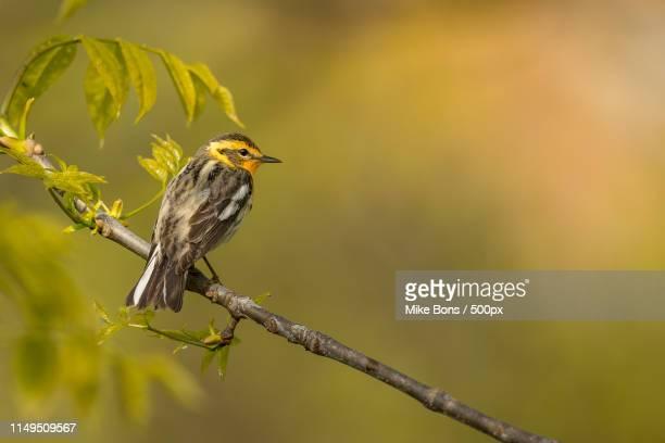 female blackburnian warbler - observatorium stock-fotos und bilder