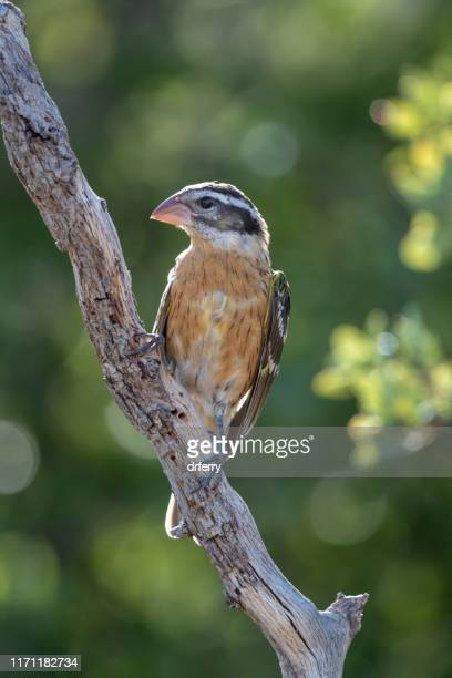 female black-headed grosbeak, huachuca mountains, arizona - arizona bird stock pictures, royalty-free photos & images