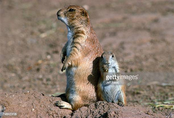 female blacktail prairie dog and young stand on dirt mound. cynomys ludovicianus. - 隣り合わせ ストックフォトと画像