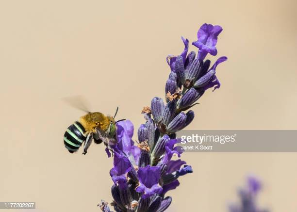 female blue banded bee - janet scott stock pictures, royalty-free photos & images