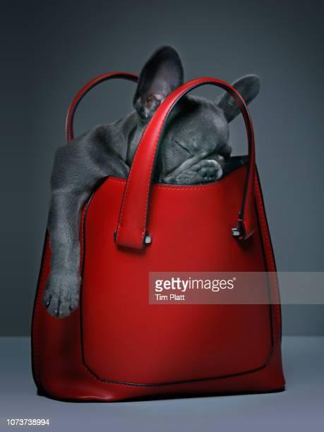 female blue french bulldog puppy in a handbag. - sac à main rouge photos et images de collection