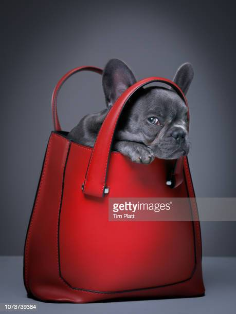 Female blue French Bulldog puppy in a handbag.