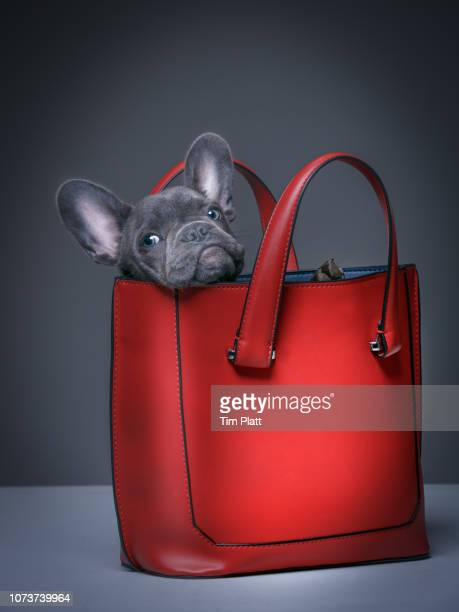 female blue french bulldog puppy in a handbag. - clutch bag stock pictures, royalty-free photos & images