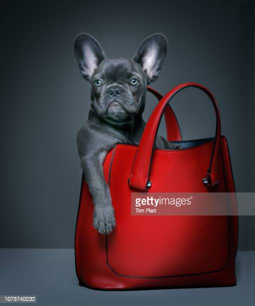 female blue french bulldog puppy in a handbag. - borsetta da sera foto e immagini stock