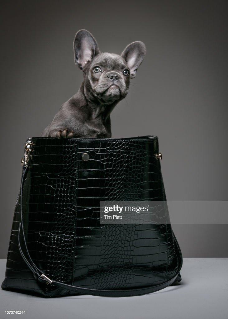 Female Blue French Bulldog Puppy In A