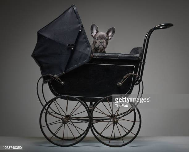 female blue french bulldog puppy in a toy pram. - baby carriage stock pictures, royalty-free photos & images