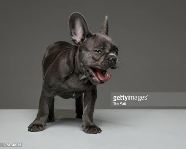 female blue french bulldog puppy. - girl power provérbio em inglês - fotografias e filmes do acervo