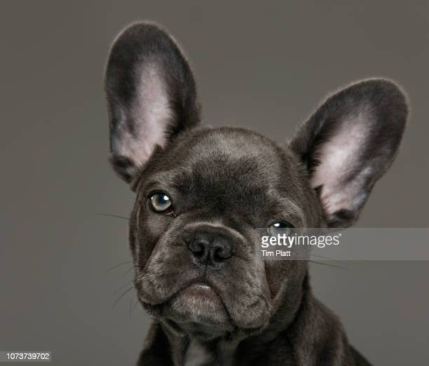 female blue french bulldog puppy. - ear stock pictures, royalty-free photos & images