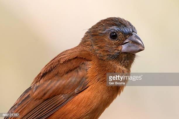 female blue grosbeak portrait - blue cardinal bird stock pictures, royalty-free photos & images