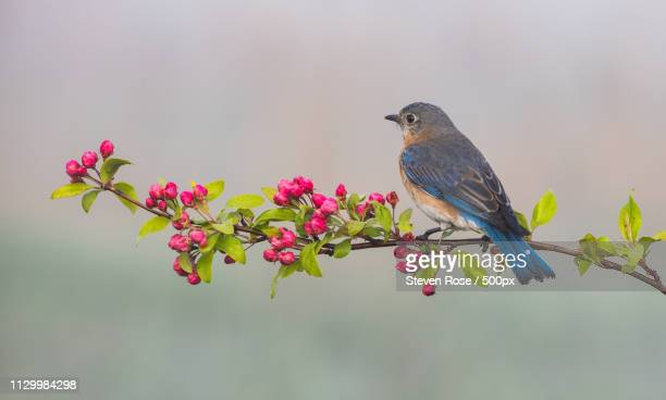 female bluebird in the fog - eastern bluebird stock pictures, royalty-free photos & images