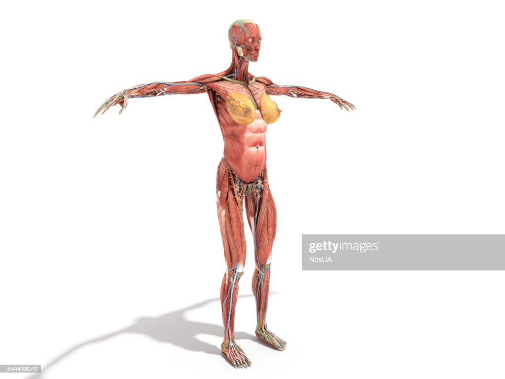 A Female Body Anatomy For Books 3d Render On White Stock Photo ...