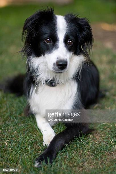 Female Border Collie/Australian Shepherd Mix