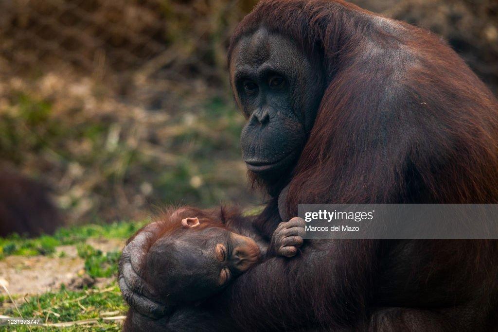 A female Bornean orangutan (Pongo pygmaeus) holding its baby... : News Photo