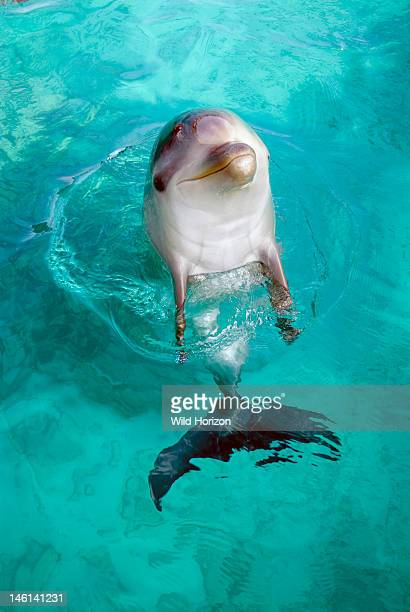 Female bottlenose dolphin six months old Tursiops truncatus Baby LiNa Dolphin Academy Seaquarium Curacao Netherlands Antilles controlled environment...