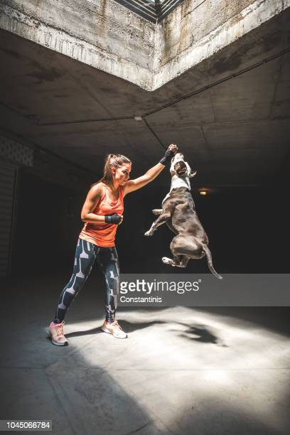 female boxer and cute dog pit bull terrier - dog fight stock pictures, royalty-free photos & images