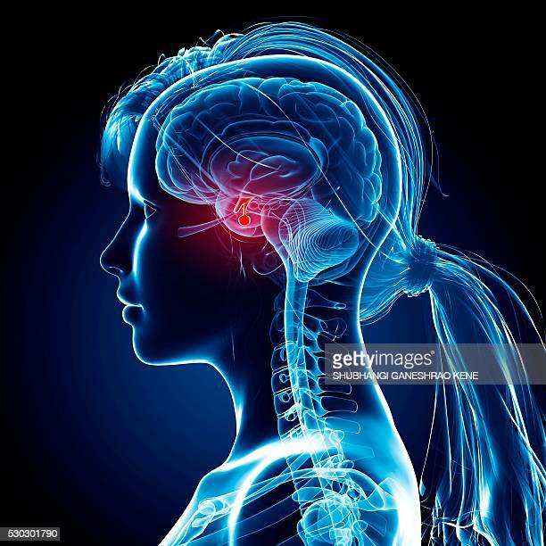 female brain, computer artwork. - brain stem stock photos and pictures