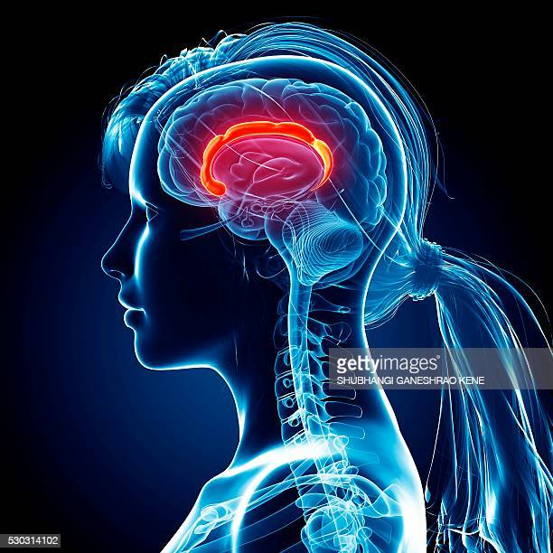 female brain, computer artwork. - lateral ventricle stock photos and pictures